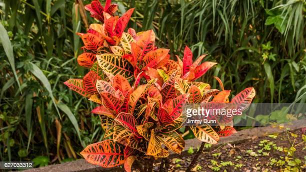 Codiaeum Variegatum - Plant