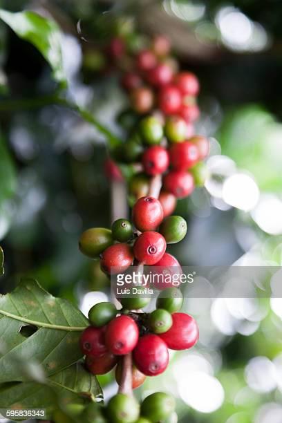 Coffe plant, Ataco, El Salvador
