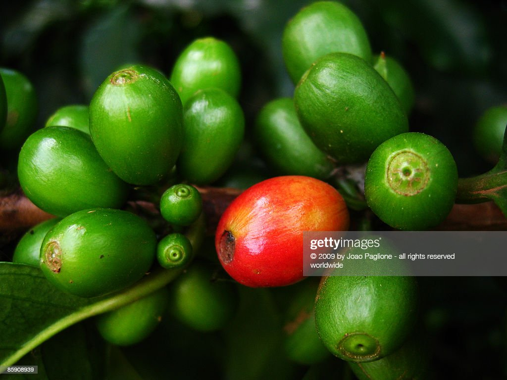Coffee beans in natural from Coffee Arabica