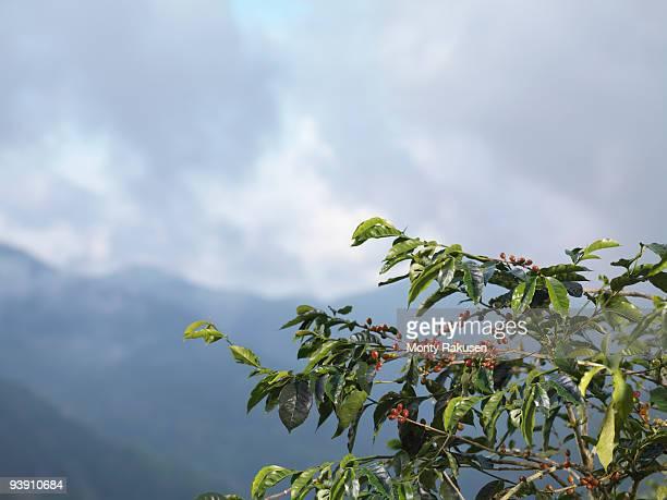 Coffee Beans On Tree