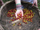 coffee beans from nicaragua in hands