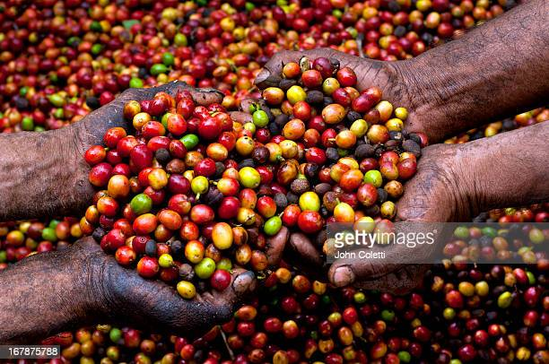 Coffee Berries, El Salvador