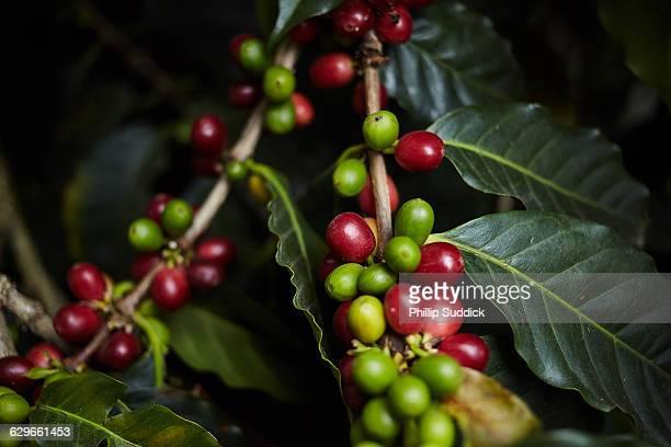 coffee cherries growing on coffee tree