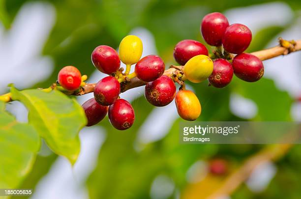 Coffee Cherries on a  Branch, Kona Hawaii