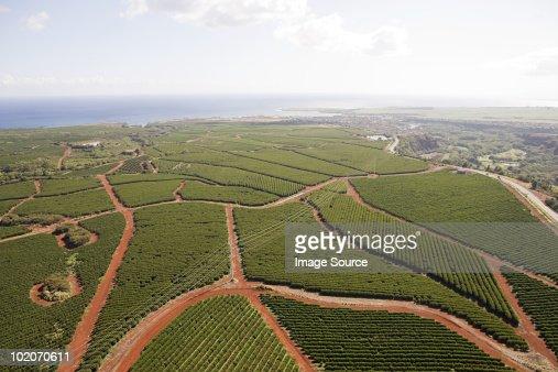 Coffee farm in kauai, hawaii