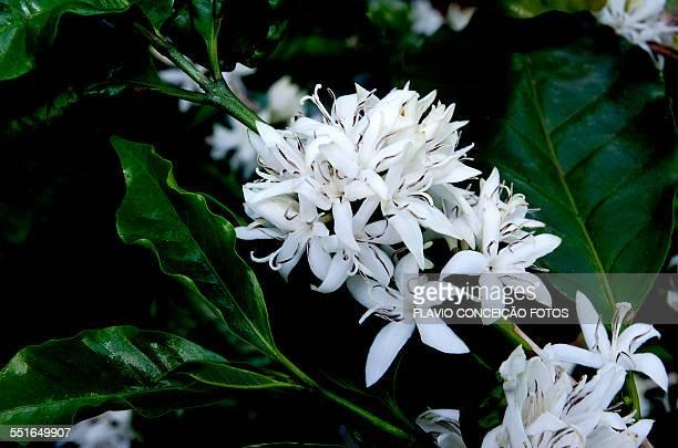 Coffee flower plant brazil
