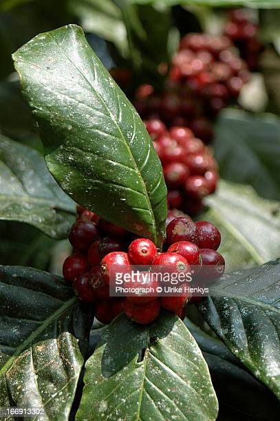 Coffee growing on a coffee plant