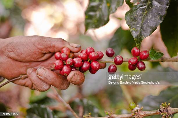 Coffee plant beans being picked