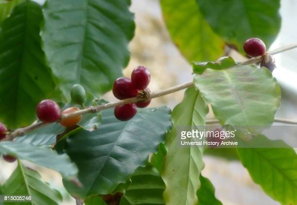 Coffee Plant Coffee is a brewed drink prepared from roasted coffee beans which are the seeds of berries from the Coffea plant The genus Coffea is...