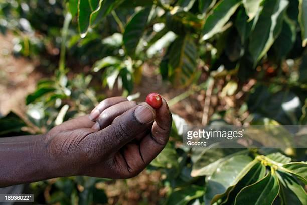 Coffee plantation financed by a loan from BIMAS microcredit Kenya