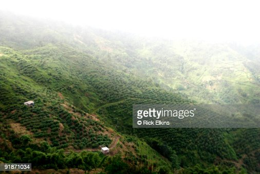 Coffee plantation in Jamaica