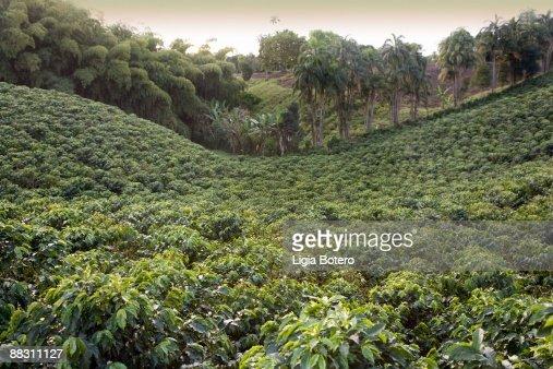 Coffee plantation, Quindio, Columbia