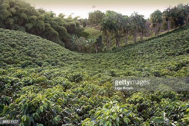 Coffee plantation, Quindio, Columbia