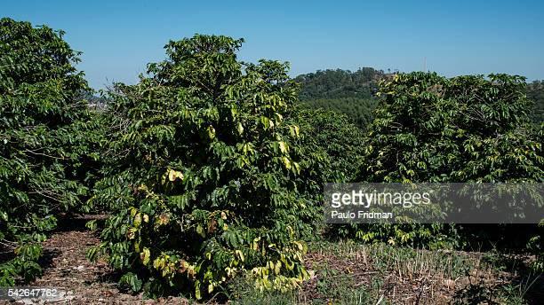coffee plants are pictured at a plantation at Sao Geraldo's farm near Serra Negra Brazil on Monday February 10TH