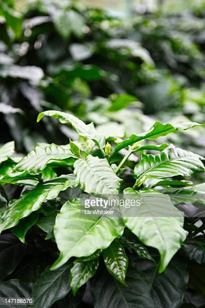 Coffee plants (Coffea arabica), close-up