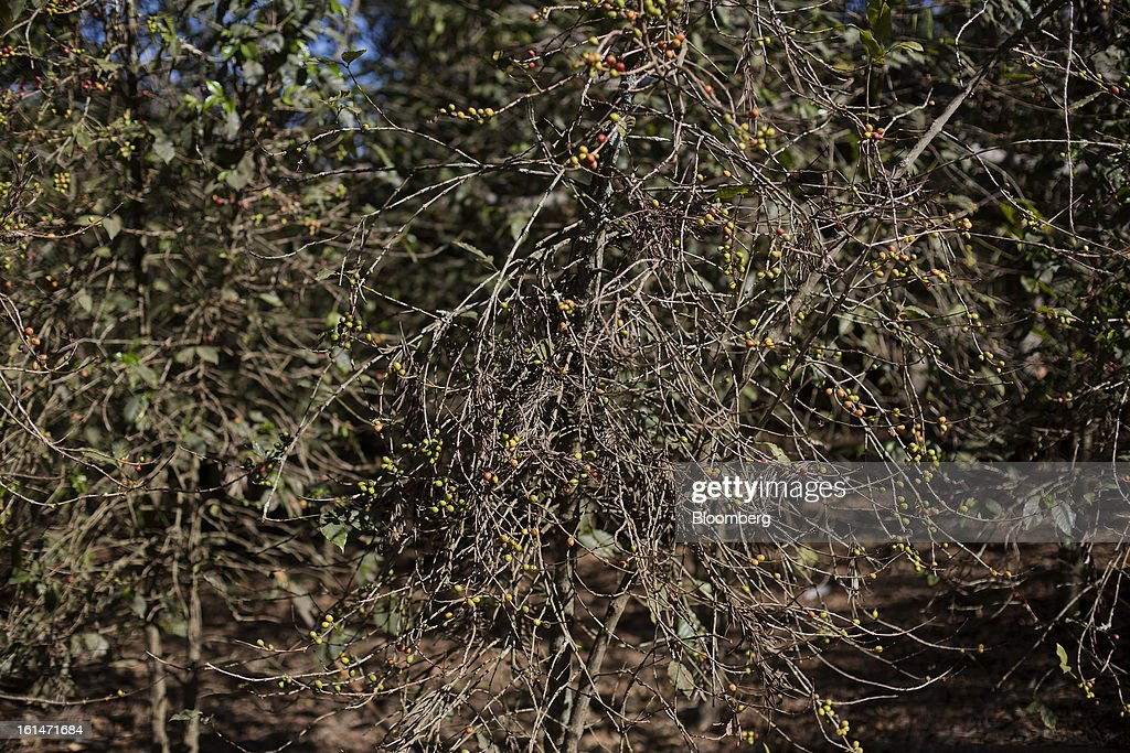 Coffee plants sit defoliated and damaged by the roya coffee fungus near Antigua, Guatemala, on Saturday, Feb. 9, 2013. The Guatemalan National Coffee Association said that rust disease, known as roya in Spanish, will destroy 15 percent of the 2012-2013 harvest and as much as 40 percent of next season's harvest. Photographer: Victor J. Blue/Bloomberg via Getty Images