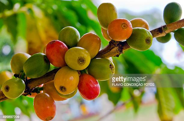 Coffee ripe fruit