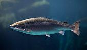 Coho salmon underwater