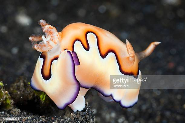 Coi Nudibranch Chromodoris coi Lembeh Strait North Sulawesi Indonesia