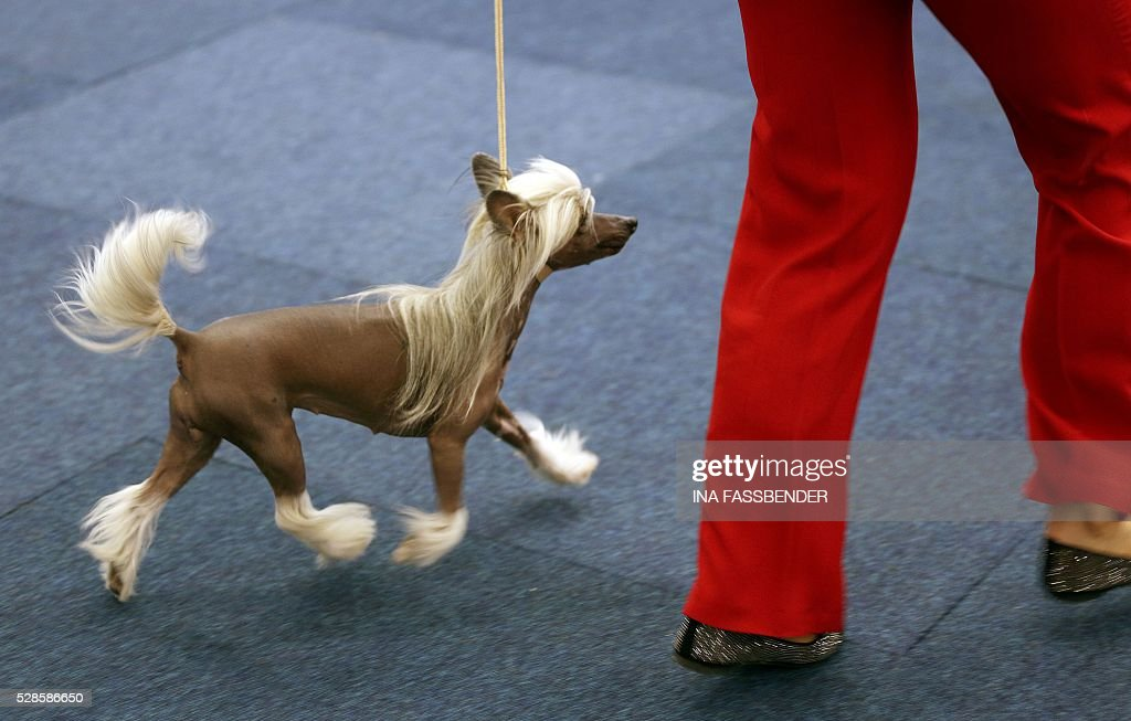 A coiffed Chinese Crested Dog is presented during the 'Hund & Katz' (Dog and Cat) pet fair on May 6, 2016 in Dortmund, western Germany. The fair is running until May 8, 2016. / AFP / dpa / Ina Fassbender / Germany OUT