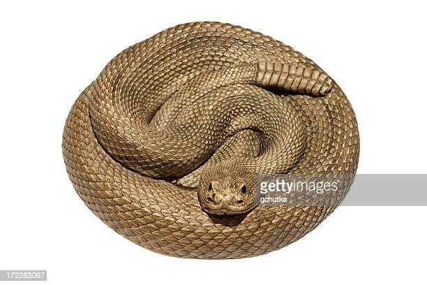 A coiled rattlesnake against a white background