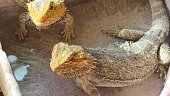 Pogona Vitticeps also called Dragon bearded for the presence of scales under the neck that swell and darken when it's angry. Drinking water in their water pool.