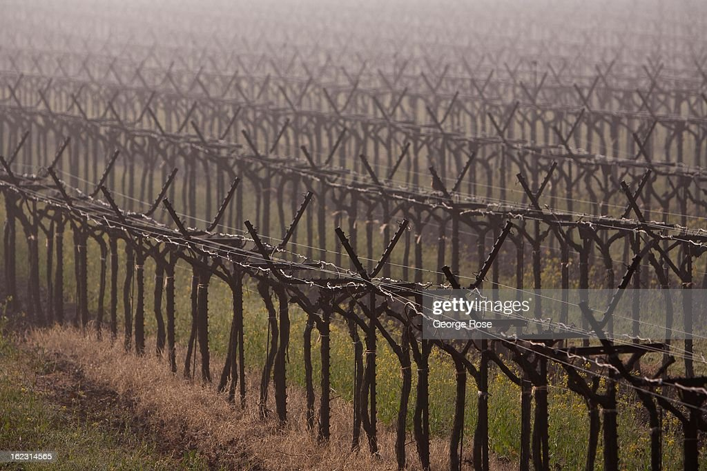 A cold front passes through the Alexander Valley leaving behind dense fog and freezing temperatures on February 18, 2013, in Healdsburg, California. Despite the cold winter weather, California wine producers are preparing for another successful vintage following the record harvest of 2012.