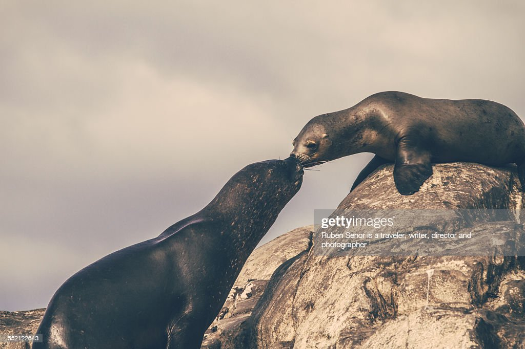 A couple of sea lions giving a kiss in Ushuaia (Argentina). The male going out of the water and climbing the stone till his female to give her a kiss.
