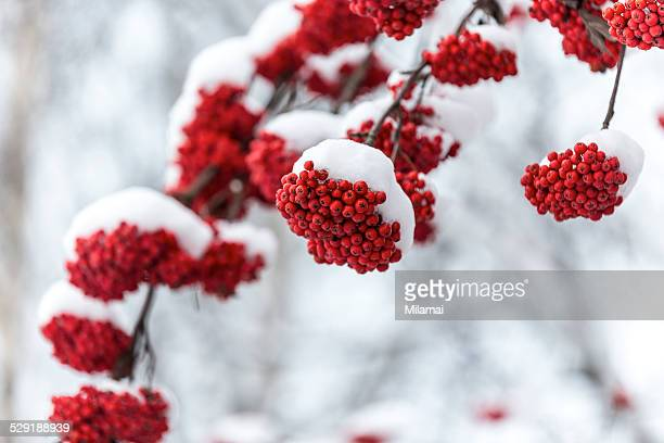 Cold rowan berries