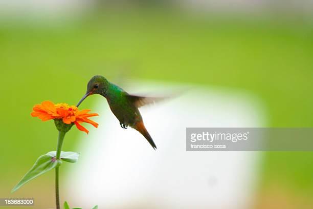Colibr? | Hummingbird