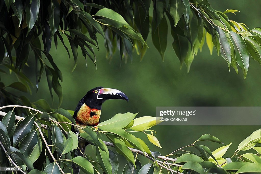 A Collared Aracari ( Pteroglossus torquatus) stands on a tree branch in San Salvador, El Salvador, on November 22, 2012. The Aracaries are from the family of toucans. The live in jungles but have adapted to urban areas as they suffer habitat loss. AFP PHOTO/Jose CABEZAS