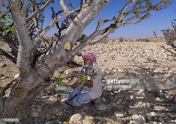 Collecting Frankincense in wadi dawkah in Oman on December 21 2009 Mister Musallem from Gedad tribe collecting frankincense he uses a mansaha to cut...