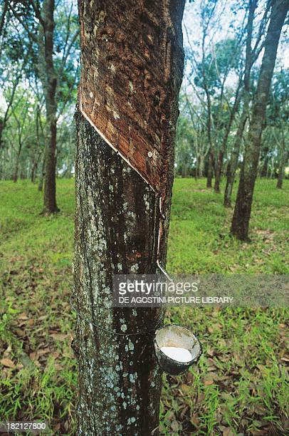 Collecting sap from the Rubber Tree Johor Baharu Malaysia