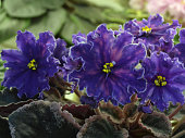Collection African violets. VaT Pavlin (Peacock)  - Very large, blue-violet stars with bright pink peas and a thin white