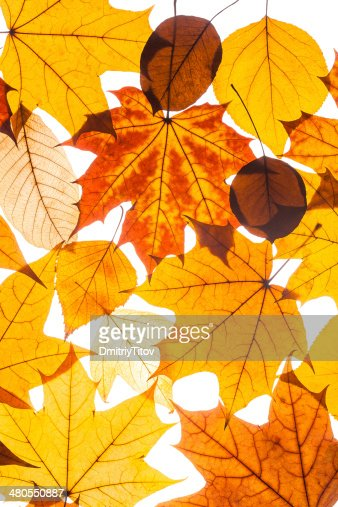 collection beautiful colorful autumn leaves : Stock Photo