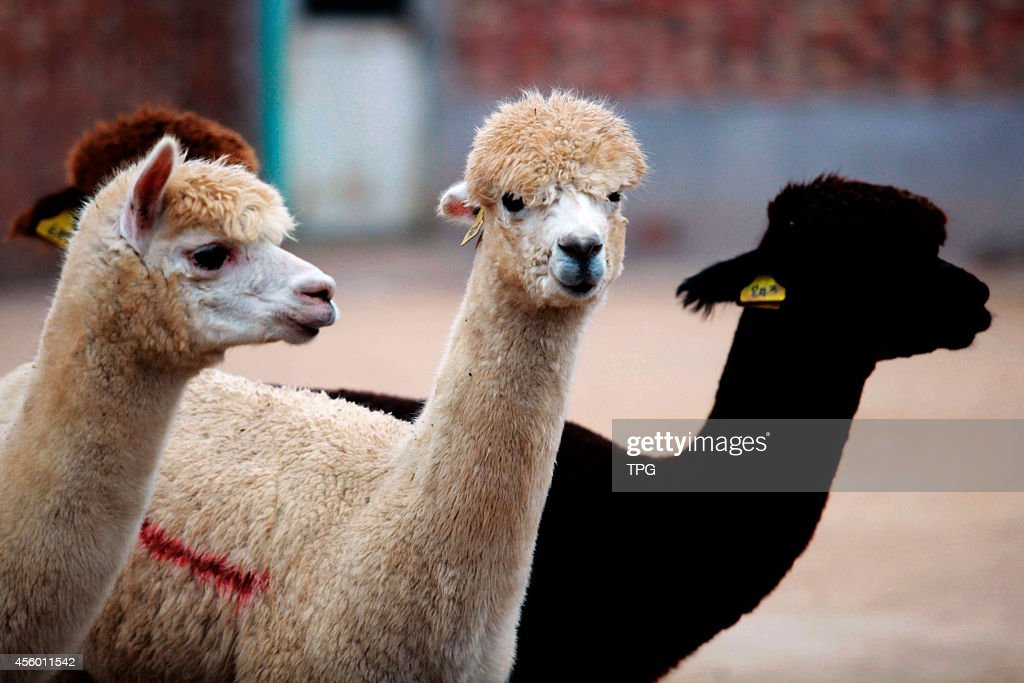 A collection of alpacas ends the quarantine on 22th September 2014 in Tianjin China2015 is Chinese year of goat alpaca becomes the most shoppingrush...