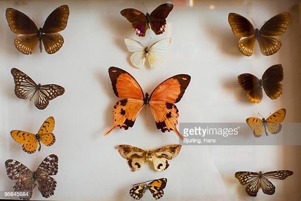 Collection of butterflies, close-up, Sweden.