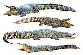 Four freshwater crocodile isolated on white.