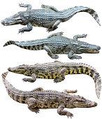 Freshwater crocodile isolated on white background.