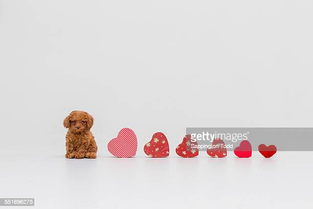 Collection Of Heart And Toy Poodle