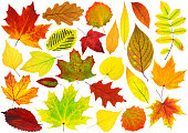 Collection of isolated autumn leaves. Colorful leaves of various trees isolated on white background