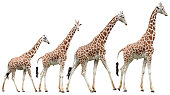 Giraffes in various poses isolated on white with clipping path
