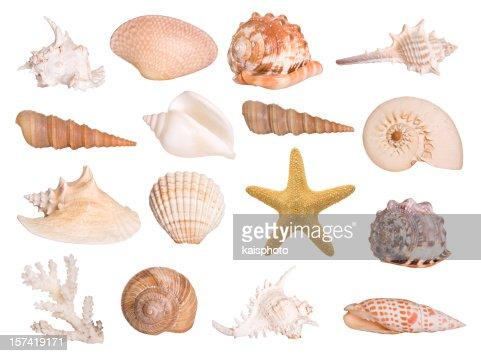Collection of isolated seashells