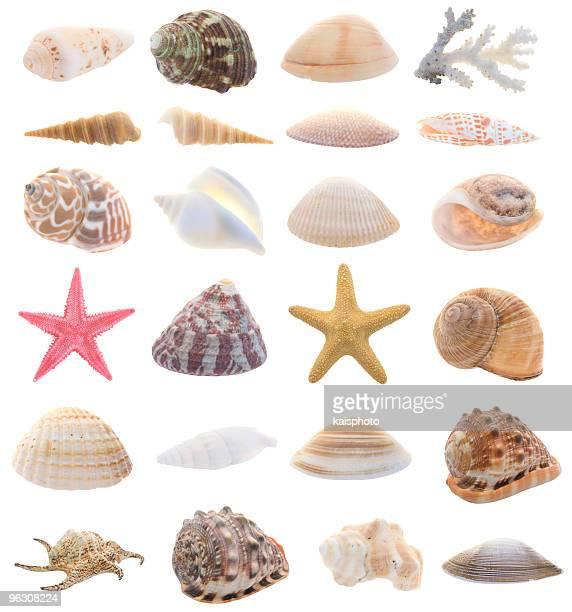 Sammlung von isolierten Muscheln