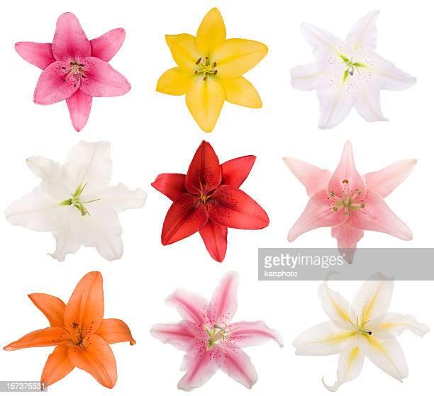 Collection de Lilys (XXL