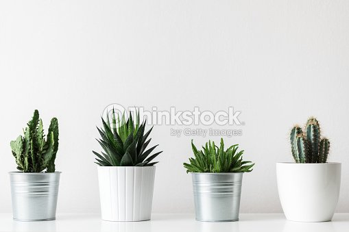 Collection of various cactus and succulent plants in different pots. Potted cactus house plants on white shelf against white wall. : Stock Photo