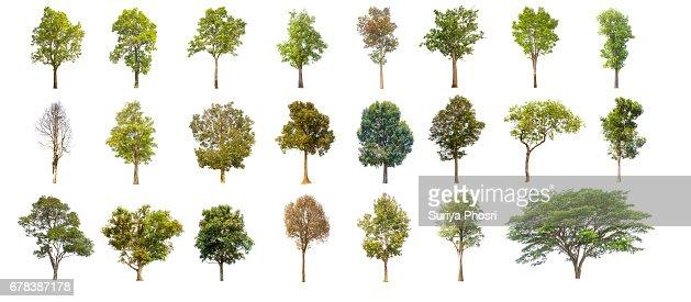 árbol de colecciones verdes aislado. árbol verde aislado sobre fondo blanco. : Foto de stock