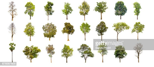 collections green tree isolated. green tree  isolated on white background. : Foto de stock