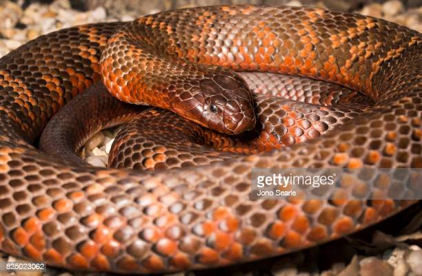 A Collett's Black Snake a venomous snake which can be found in central Queensland Australia