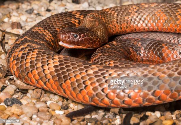A Collett's Black Snake with an open mouth a venomous snake which can be found in central Queensland Australia